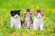 Three little kittens sitting on the field with dandelions