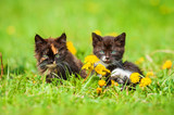 Two adorable little kittens sitting on the field with dandelions