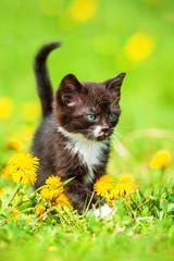 Adorable little kitten walking on the field with dandelions
