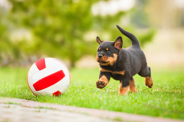 Rottweiler puppy playing with a ball