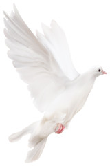 white isolated pigeon illustration