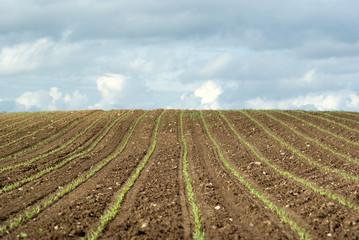Feld mit Jungpflanzen Saat