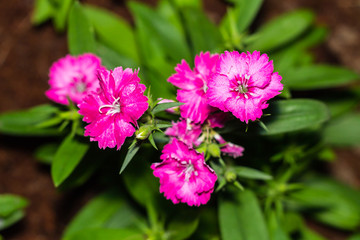 China Pink, Dianthus