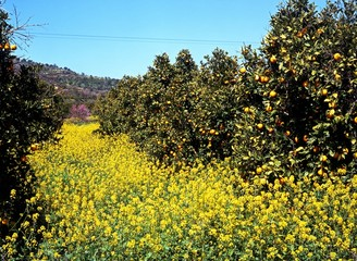 Orange grove and spring flowers, Cyprus © Arena Photo UK
