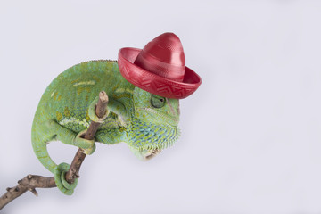 Crazy veiled chameleon with a red mexican hat (sombrero,mexico)