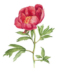 Red Peony watercolor