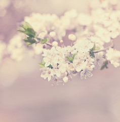 apple blossom vintage background