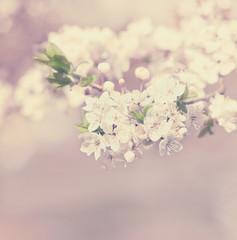 apple blossom vintage background