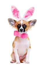 chihuahua dog wearing bunny ears