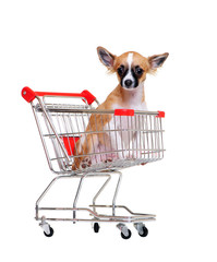chihuahua puppy in a  shopping trolley on white background