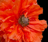 poppy plant flora  isolated flower