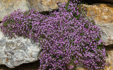 Flores malvas Saponaria ocymoides