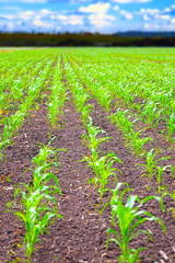 Rows of green corn plants