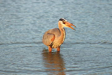 Great blue heron fishing at dawn in a pond