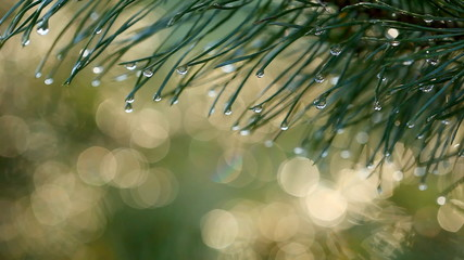 Water drops on fir tree. Shallow DOF. Shot with motorized slider