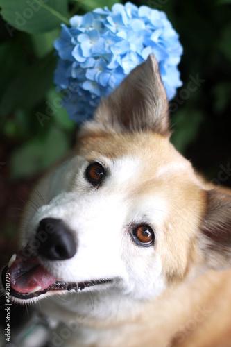 水色の紫陽花と笑顔の犬