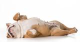 Fototapety dog sleeping