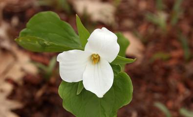 White trillium in the forest