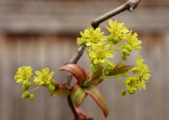 Green tree buds in the spring, shallow depth of field