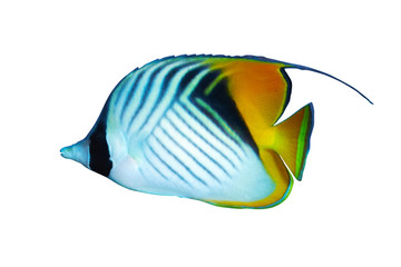 Threadfin butterflyfish isolated on white background.