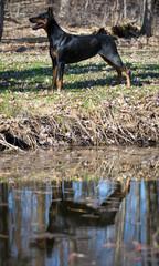 doberman standing by water