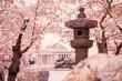 Jefferson Memorial during the Cherry Blossom Festival. Washingt