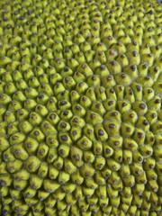 Jackfruit, Artocarpus heterophyllus Lam
