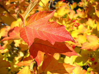 Red  leaf of viburnum in autumn. Macro