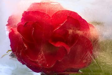 Frozen   red   rose flower