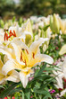 white and yellow lily in garden.