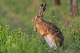 Fototapety Europäischer Feldhase, Brown hare, Lepus capensis