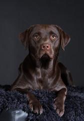 Labrador schoko