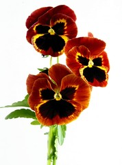 brown and yellow flowers of pansy close up