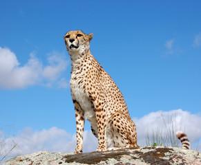 Cheetah at Sky Background