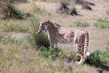 Cheetah Caught a Rabbit