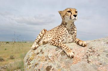 Cheetah on a Rock Alone