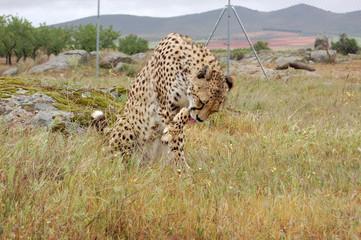 Cheetah Washing Herself