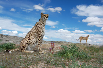 Cheetahs Under Clouds