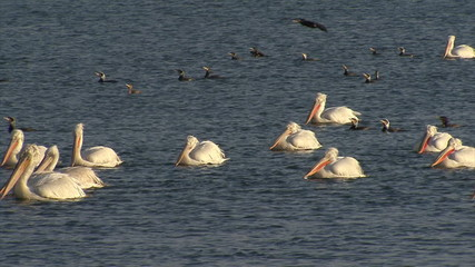 Flock of hunting / fishing pelicans in the lake during sunrise