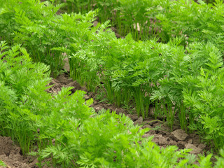 Green parsley growing in the field