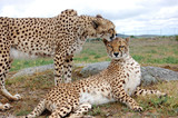 Two Cheetahs Cuddly poster