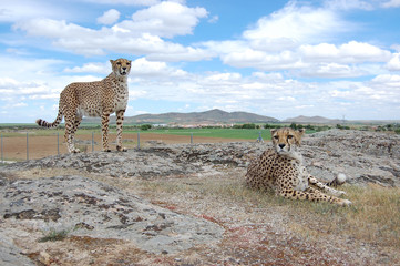Two Cheetahs in Daylight