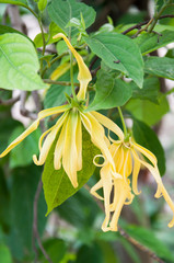 Dwarf Ylang-Ylang flower bloom in garden