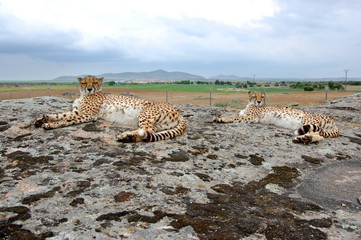 Two Cheetahs Laying Synchronous