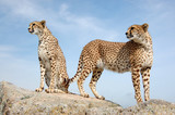 Two Cute Cheetahs