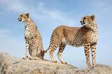 Two Cute Cheetahs