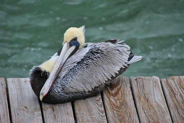 Endangered Brown Pelican Latin name Pelecanus occidentalis