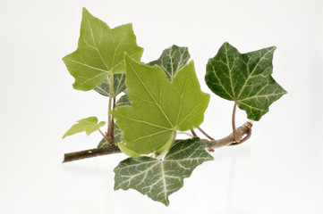 Efeu - Blätter