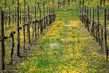 filari di vigneti vitigni in stagione primaverile con fioritura