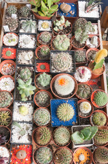 cacti at flower market